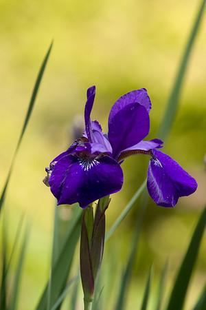 060108 Iris-3